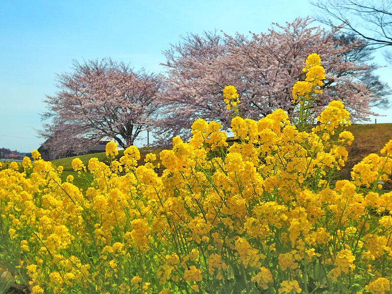 170406榎の丘と桜_7