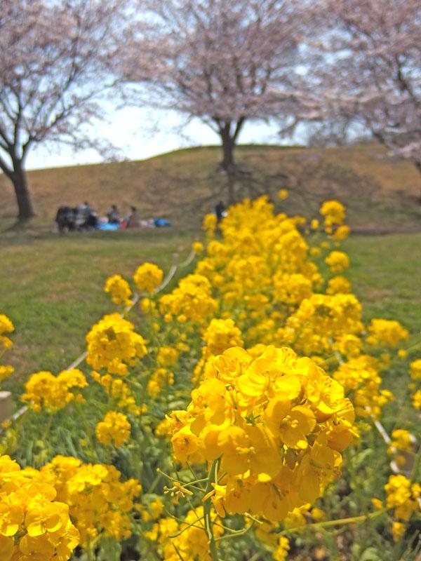170406榎の丘と桜_6