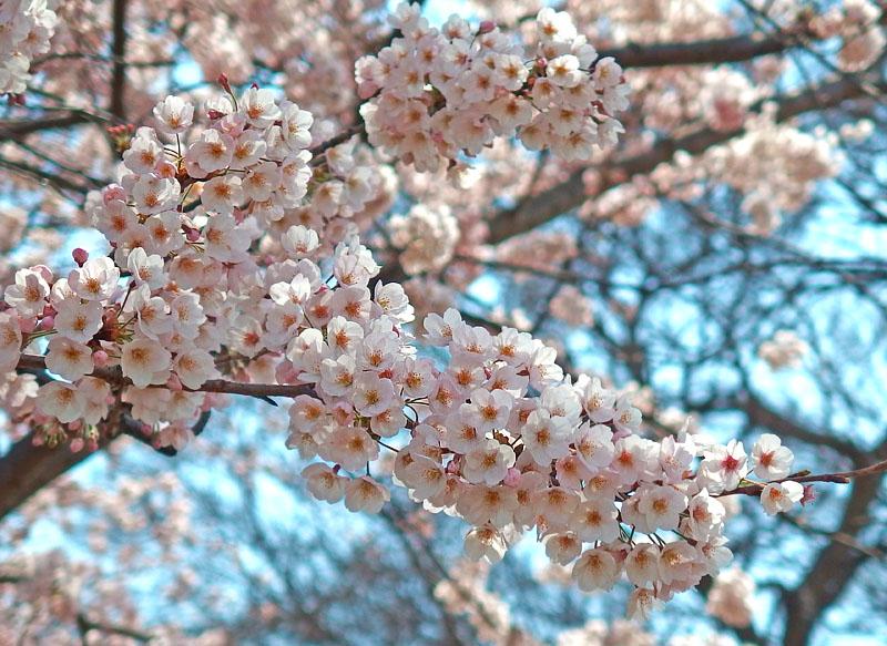 170406榎の丘と桜_8