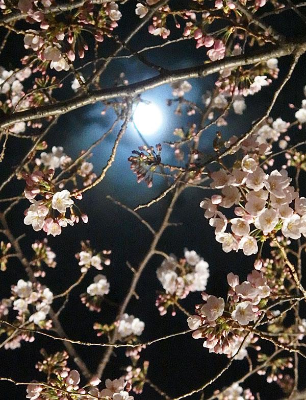 1704大岡川夜桜5