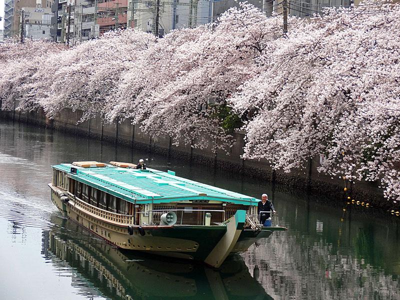 170412大岡川桜1