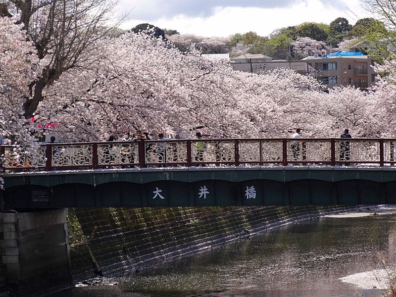 170412大岡川桜9