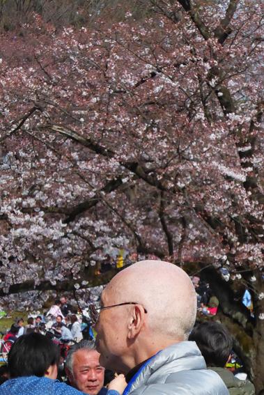 桜とハゲ親父
