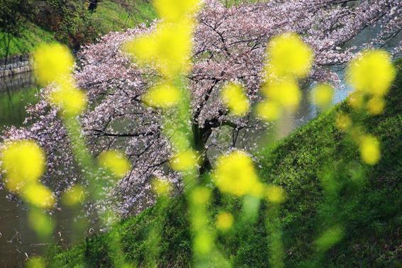 千鳥ヶ淵桜と菜の花