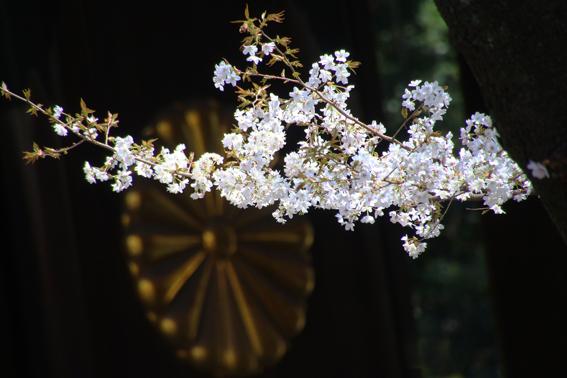 靖国の桜1