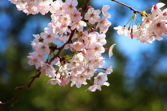 靖国の桜3