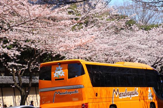 靖国の桜4
