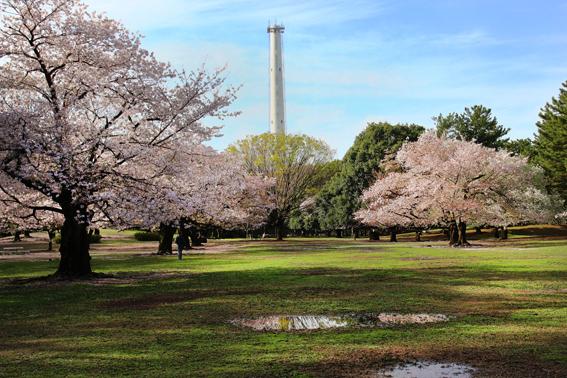 煙突と桜2