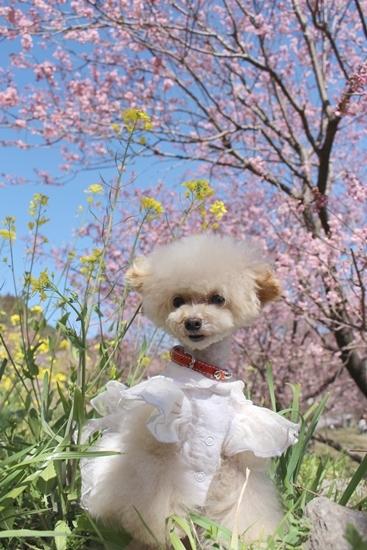 ほんのり桜色