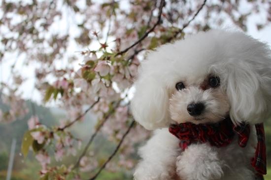 茉莉花と大島桜