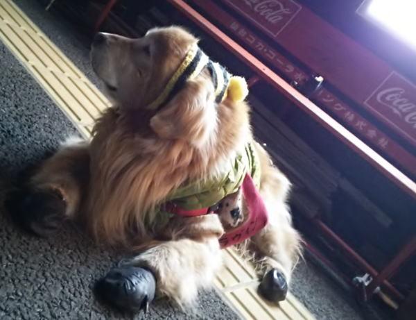 久しぶりの看板犬予行練習
