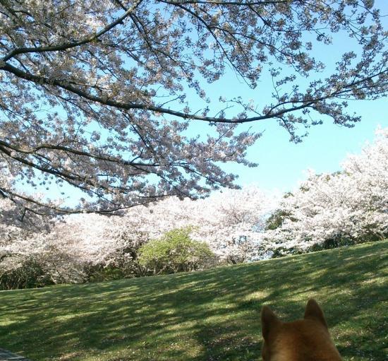 桜1(2017/4/14)_convert_20170414122917