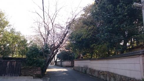 20170403桜
