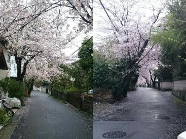 20170407桜