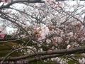 2017年のお花見1