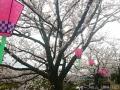 2017年のお花見5