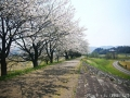 八尾の桜2