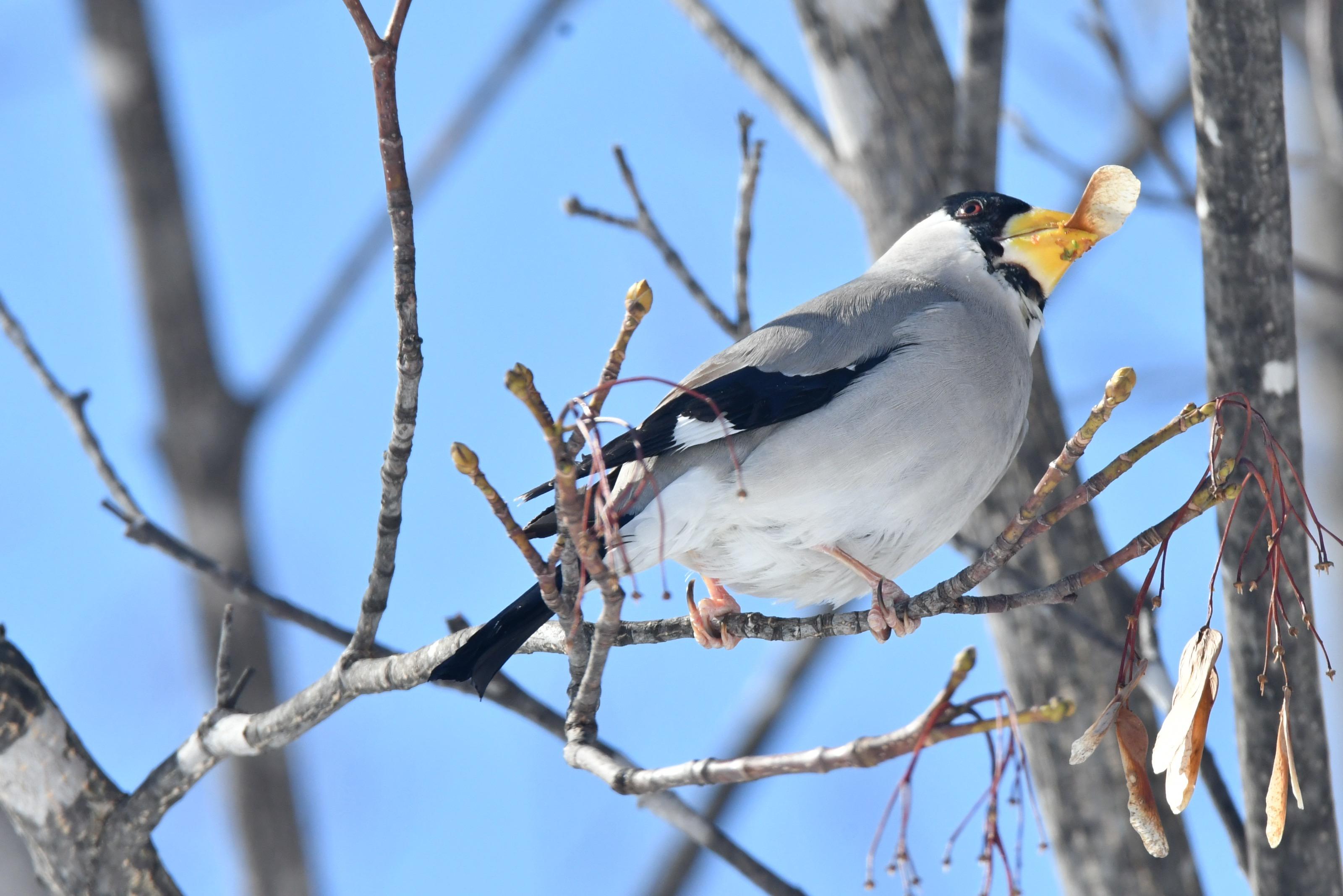 楓の種を食べる越冬イカル