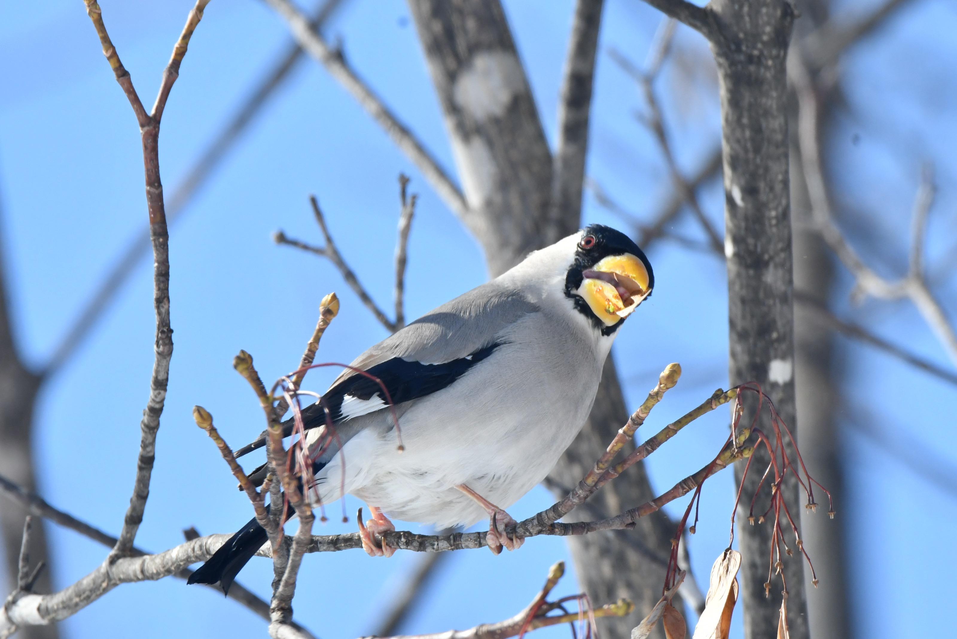 楓の種を食べる越冬イカル2