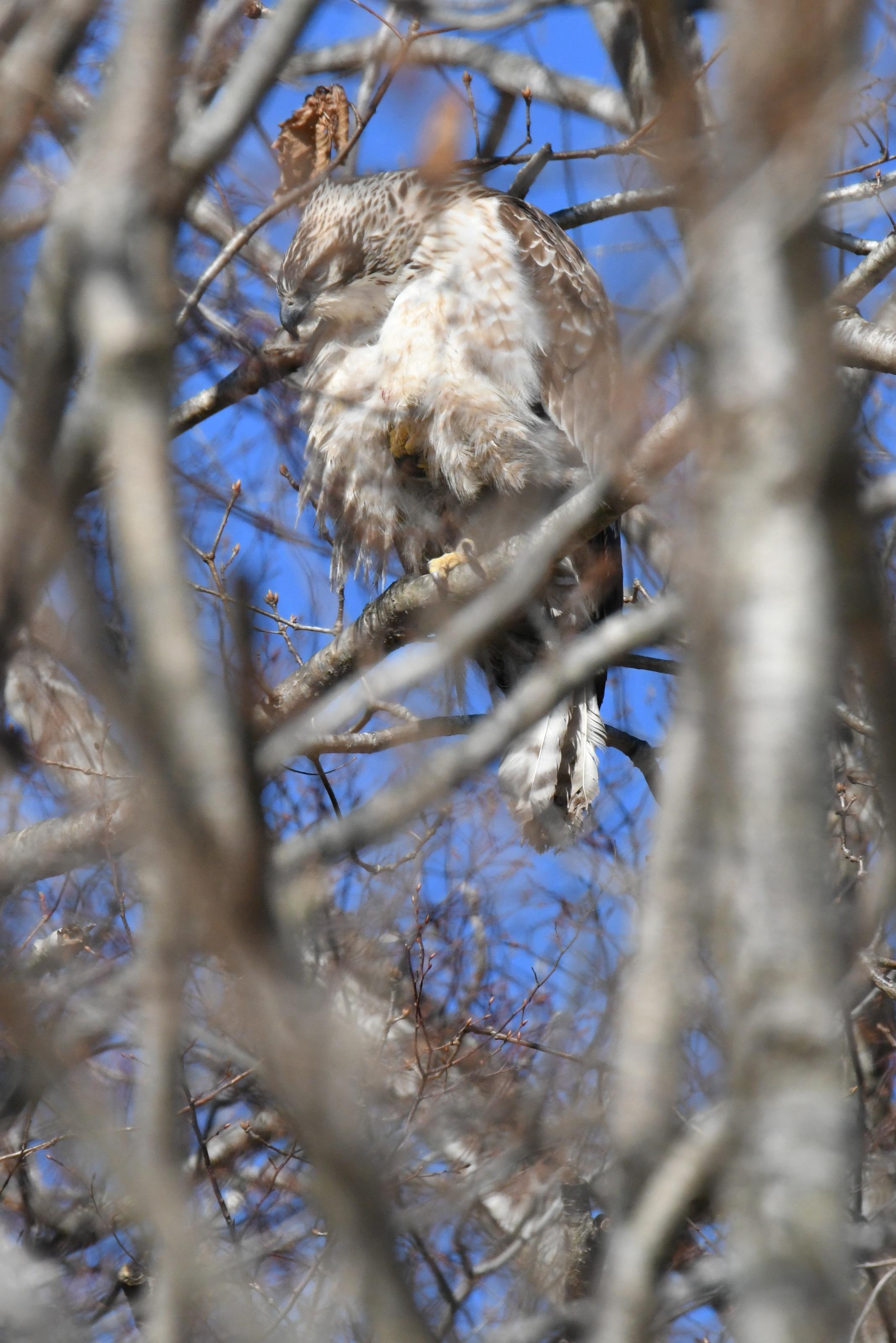 羽つくろいするクマタカ幼鳥2