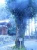 東本宮神木