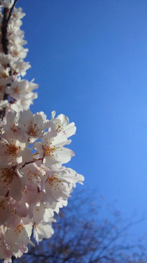 枳殻邸の桜