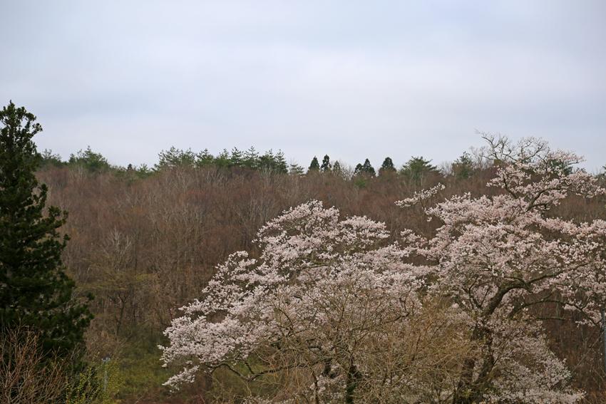 20170424種まき桜