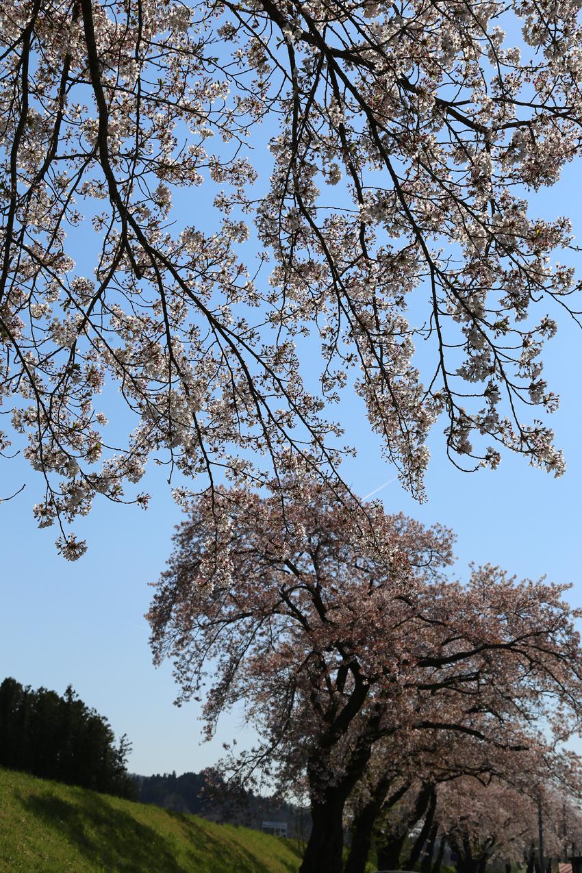 20170424磐井川沿いの桜1