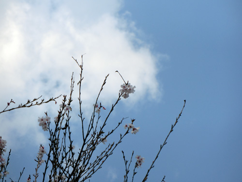 長崎の桜はまだこんな感じ。 その2。