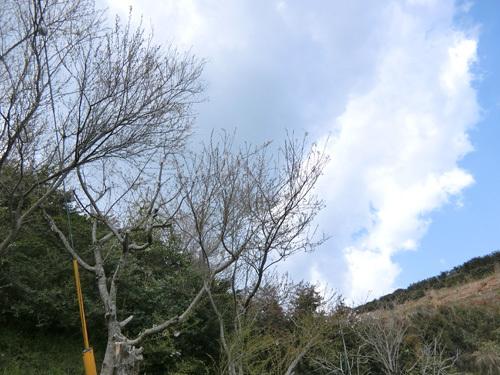 長崎の桜はまだこんな感じ。 その1。