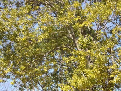 黄色い葉はシラカシ(?)」