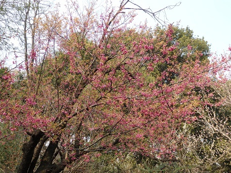 「カンヒザクラ ~鐘状で緋紅色の花」