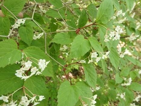 「オトコヨウゾメ ~5裂する白い小花」