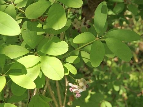 きれぎれの風彩 北本の植物170429-06