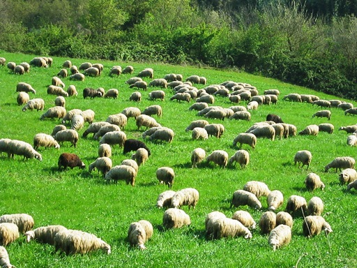 5_pecore3