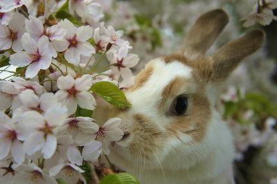 桜散歩ルナ