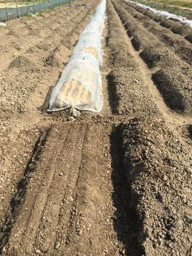 じゃが芋植え2畝2