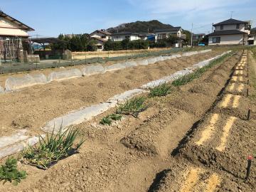 じゃが芋植え2畝3