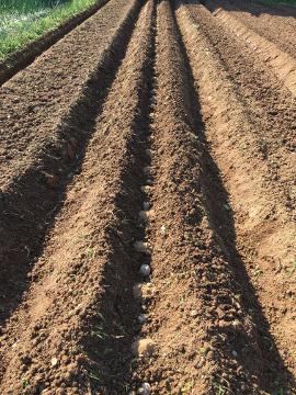 じゃが芋植え2畝7