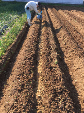 じゃが芋植え2畝8