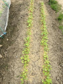 里芋ショウガ植えの見本を4