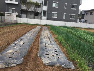 里芋ショウガ植えの見本を5