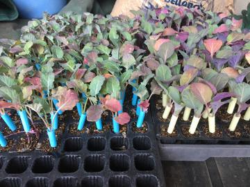 キャベツ苗植えとじゃが芋芽2