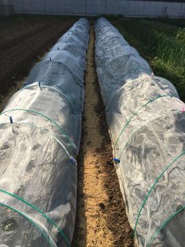 キャベツ苗植えとじゃが芋芽3