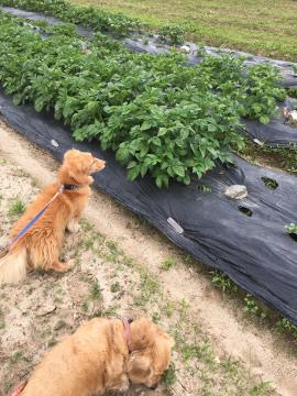雨の前に鋤いたり植えたり6