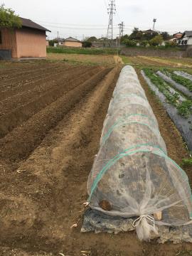 雨の前に鋤いたり植えたり9