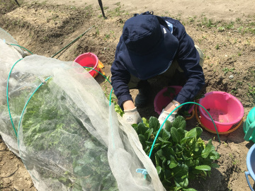 有機米田植えとジャンボタニシがいっぱい2