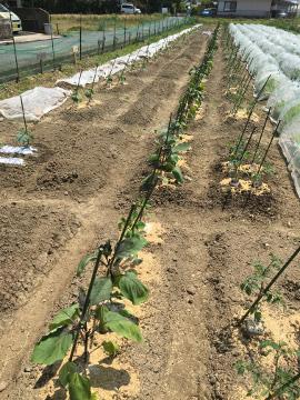 有機米田植えとジャンボタニシがいっぱい4