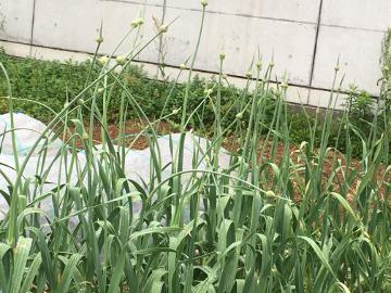 ニンニクの芽いっぱい4