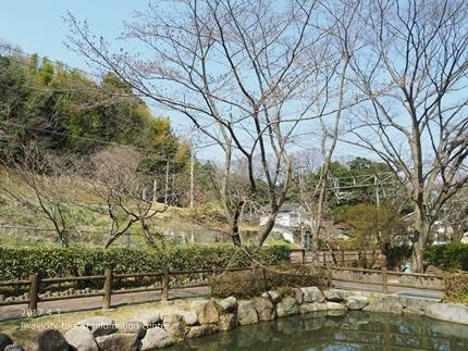 松ヶ岡公園のソメイヨシノ [平成29年4月3日(月)更新]1